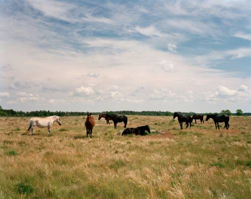Gotland horses