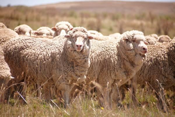 Superfine Merino ewes