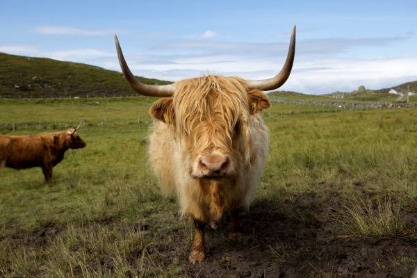 Highland cattle are part of the scenery