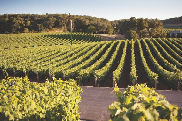 Vines on the 1,600-hectare estate