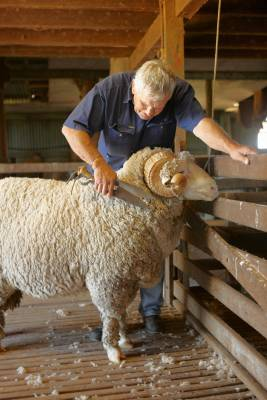 A ram gets clipped
