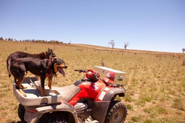 Sheepdogs at Hopefield, Boorowa