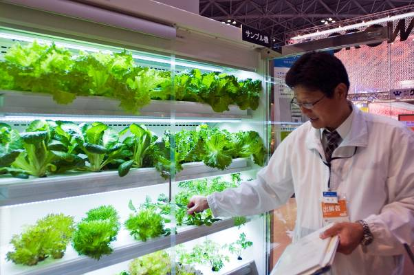 At Fuji Electric greens grow hydroponically