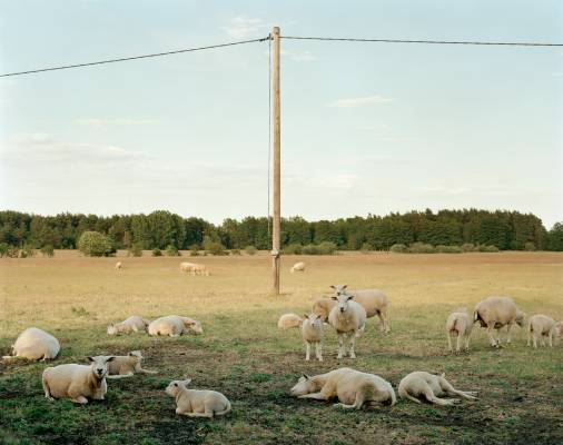 Gotland's sheep, known for their curly wool