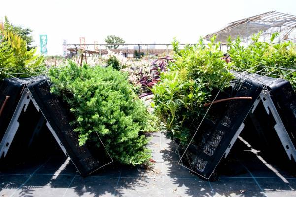 Nihon Chiko plants are nurtured at the Rhythm & Garden Nursery