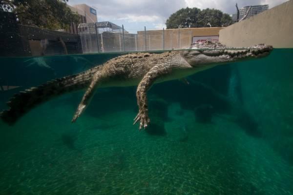 A young crocodile at Crocosaurus Cove, a tourist attraction