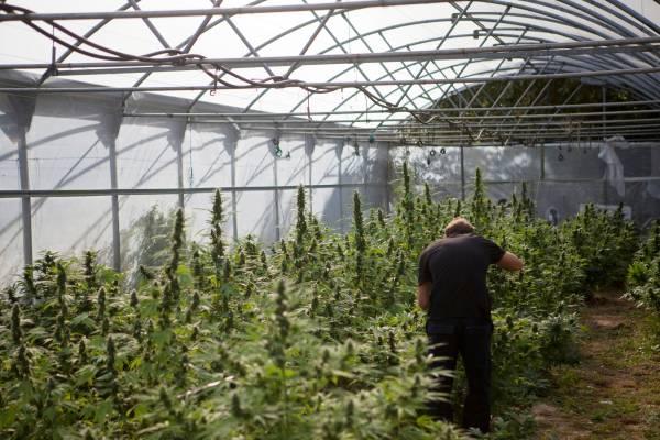 Basque cannabis