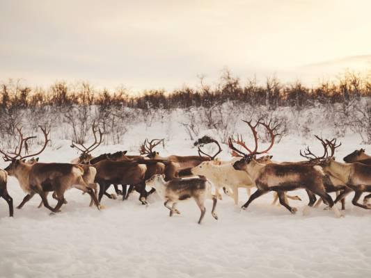 Reindeer in Karasjok