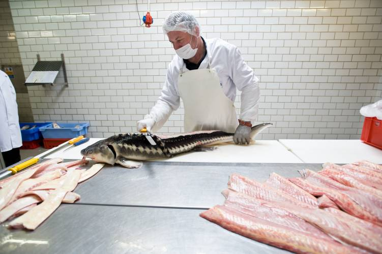 Once the caviar is extracted, the fish is used for fillets, fish stock, or glue