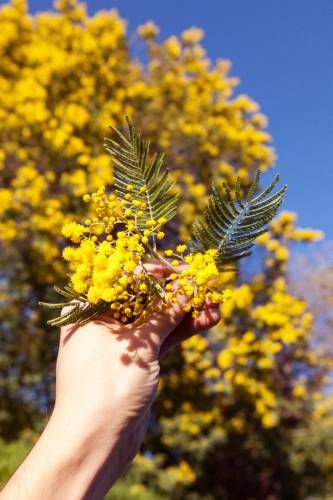 Mimosa in full bloom