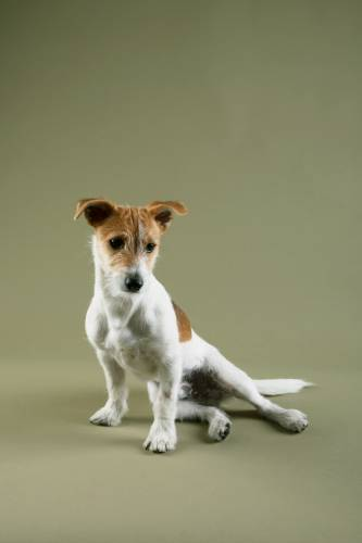 No. 13: Steve the Jack Russell